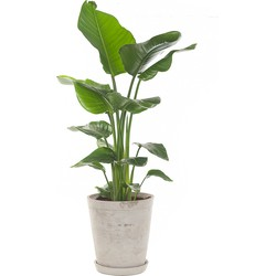 Paradijsvogelplant (Strelitzia 'Nicolai') incl. 'Soft grey' pot