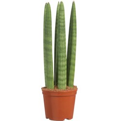 Sansevieria Straight - Vrouwentong - 30cm