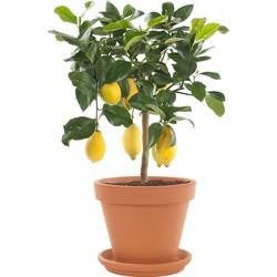 Citrusboom op stam (Citrus Limon) incl. terracotta pot