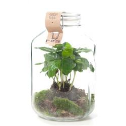 Weckpot Coffea arabica (ecosysteem)
