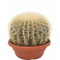 Echinocactus - Schoonmoedersstoel of Egelcactus