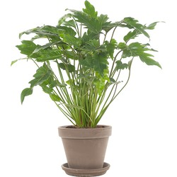 Philodendron 'Xanadu' incl. taupe pot