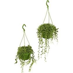 Erwtenplantje  (2 stuks)
