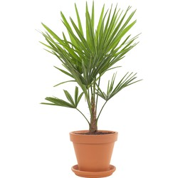 Chinese Hennep palm (Trachycarpus Fortunei) incl. terracotta pot