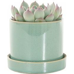 Echeveria incl. 'light green' pot