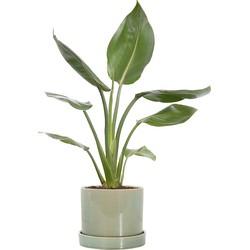 Paradijsvogelplant (Strelitzia 'Reginae') incl. 'Deep Forest' pot