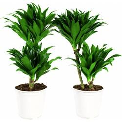 Dracaena fragrans compacta - Drakenbloedboom - 2 stuks