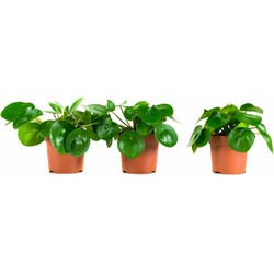 Pannenkoekenplant (3 stuks)