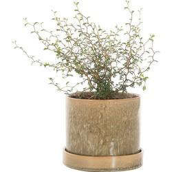 Sophora 'Little Baby' incl. 'Green moss' pot