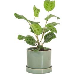 Tiengeboden plant (Maranta 'kerchoveana') incl. 'deep forest' pot