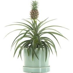 Anti-snurk plant (Bromelia ananas champaca) incl. 'Light green' pot