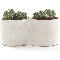 Echinopsis Oxygona - Inclusief Pot