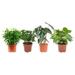 Ficus, Koffieplant, Olifanstoor en Syngonium