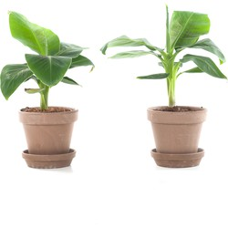 Mini bananenplant (Musa) incl. taupe pot - set van 2