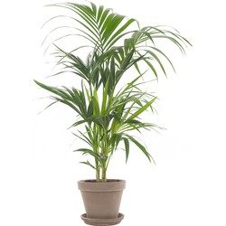 Kentiapalm (Howea Forsteriana) incl. taupe pot