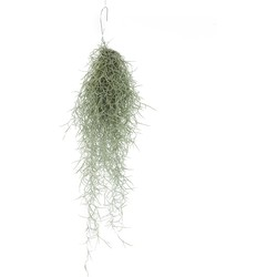 Tillandsia usneoides - airplant