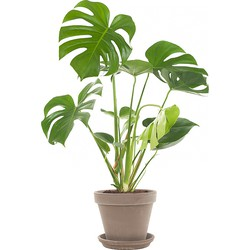 Gatenplant (Monstera) incl. taupe pot