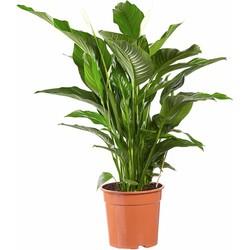 Spathiphyllum Sweet Lauretta - Lepelplant