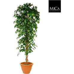 Mica Decorations ficus benjamina h210d100 groen in pot