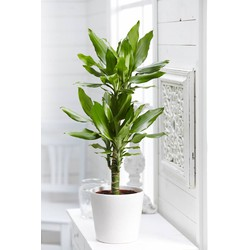 Dracaena Green Medium