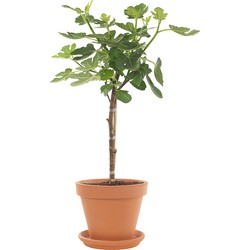Vijgenboom op stam (Ficus Carica) incl. terracotta pot