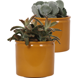 2x Kalanchoe in curry pot