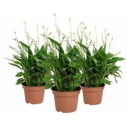Spathiphyllum Pearl Cupido - Lepelplant - 3 stuks